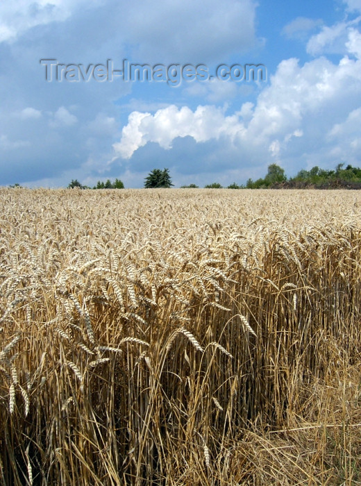 israel282: Israel - wheat field - agriculture - photo by E.Keren - (c) Travel-Images.com - Stock Photography agency - Image Bank