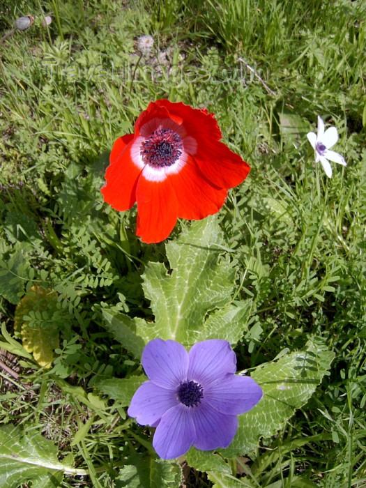 israel283: Israel - Megido: wild flowers - photo by E.Keren - (c) Travel-Images.com - Stock Photography agency - Image Bank