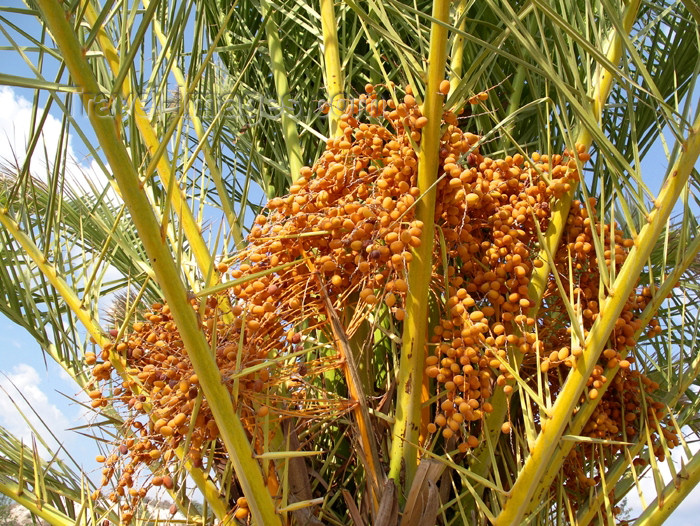 israel290: Israel - Eilat: palm fruits - dates - palm tree - palmera - photo by Efi Keren - (c) Travel-Images.com - Stock Photography agency - Image Bank