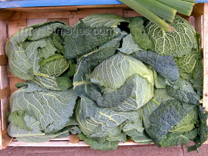 israel295: Israel - Kfar Vitkin: cabbages - Brassica oleracea / couves - vegetables - photo by E.Keren - (c) Travel-Images.com - Stock Photography agency - Image Bank