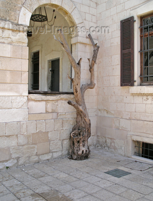israel316: Haifa, Israel: life after death - old tree - photo by E.Keren - (c) Travel-Images.com - Stock Photography agency - Image Bank