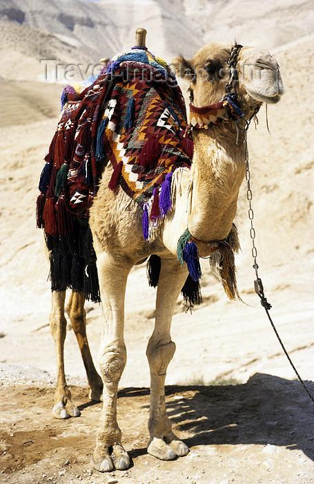 israel343: Israel - Negev desert: camel posing - Camelus dromedarius - photo by W.Allgöwer - (c) Travel-Images.com - Stock Photography agency - Image Bank