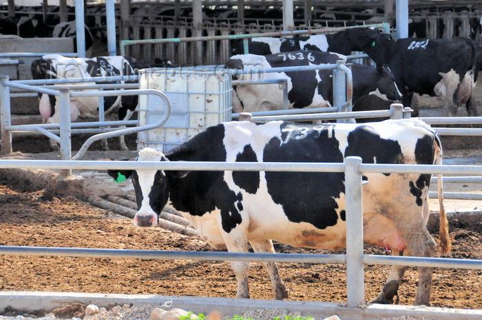israel410: Tzora kibbutz, Mateh Yehuda region, Jerusalem district, Israel: Holstein cow leaves the milking station at Tzora Dairy Farm - photo by M.Torres - (c) Travel-Images.com - Stock Photography agency - Image Bank