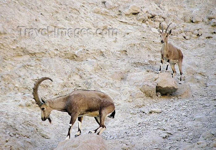 israel92: Israel - Negev desert: pair of mountain goats - ibex - Capra ibex - photo by J.Kaman - (c) Travel-Images.com - Stock Photography agency - Image Bank