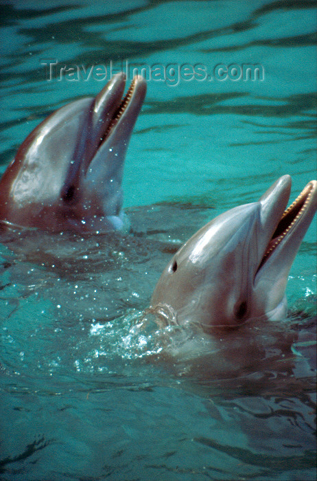 jamaica52: Jamaica - Ocho Rios: Dolphin Cover - pair of dolphins - photo by Francisca Rigaud - (c) Travel-Images.com - Stock Photography agency - Image Bank