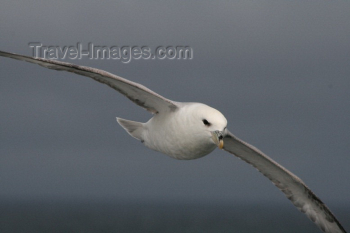 jan-mayen4: Jan Mayen island: a seagul in flight at 71º N - Arctic Ocean - photo by R.Behlke - (c) Travel-Images.com - Stock Photography agency - Image Bank