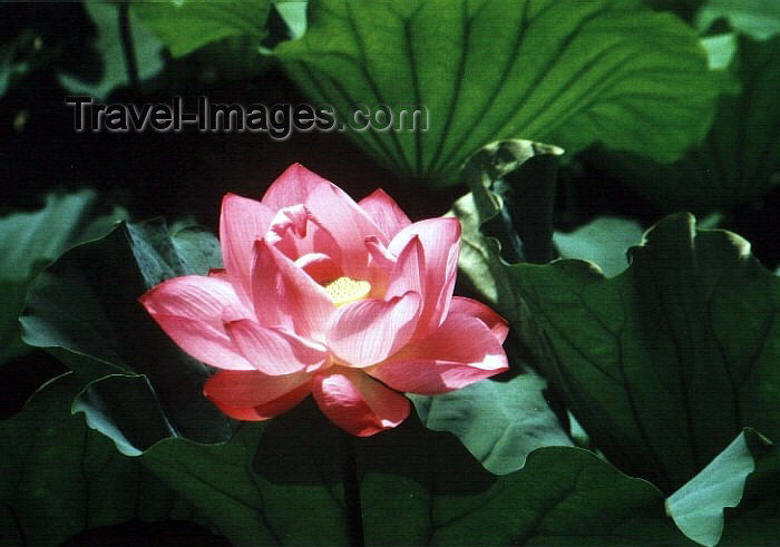 japan15: Japan - Tokyo: Lotus flower at Ueno park - photo by W.Schipper - (c) Travel-Images.com - Stock Photography agency - Image Bank