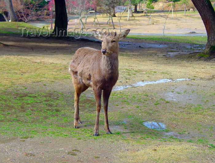 japan68: Japan (Honshu island) - Nara: deer at the deer park - photo by G.Frysinger - (c) Travel-Images.com - Stock Photography agency - Image Bank