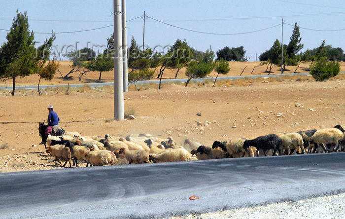 jordan151: Al Karak - Jordan: sheep and mounted shepherd on the King's highway - photo by M.Torres - (c) Travel-Images.com - Stock Photography agency - Image Bank