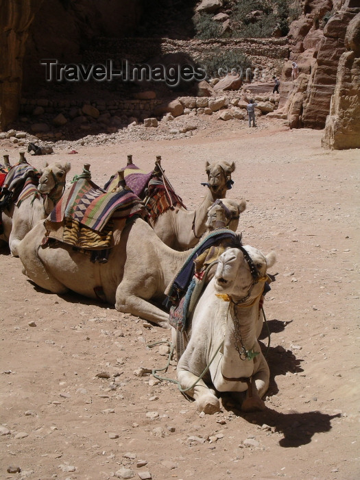 jordan43: Jordan - Petra / Sela (Maan / Ma'an province): camels resting - photo by R.Wallace - (c) Travel-Images.com - Stock Photography agency - Image Bank
