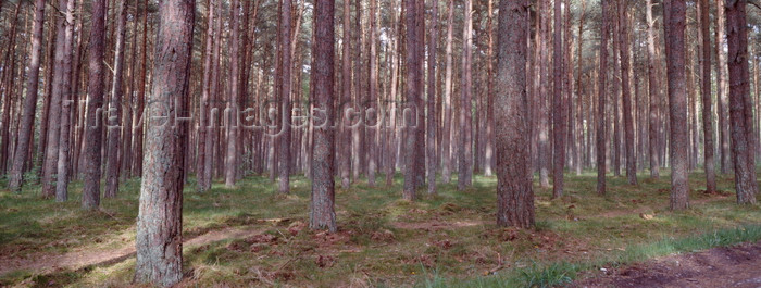 kaliningrad16: Courland spit, Kaliningrad Oblast, Russia: forest on near Moskoje / Pillkoppen - photo by A.Harries - (c) Travel-Images.com - Stock Photography agency - Image Bank