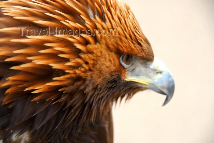 kazakhstan186: Kazakhstan - Karaturuk area, Almaty province: Golden Eagle - Aquila chrysaetos - head - photo by M.Torres - (c) Travel-Images.com - Stock Photography agency - Image Bank
