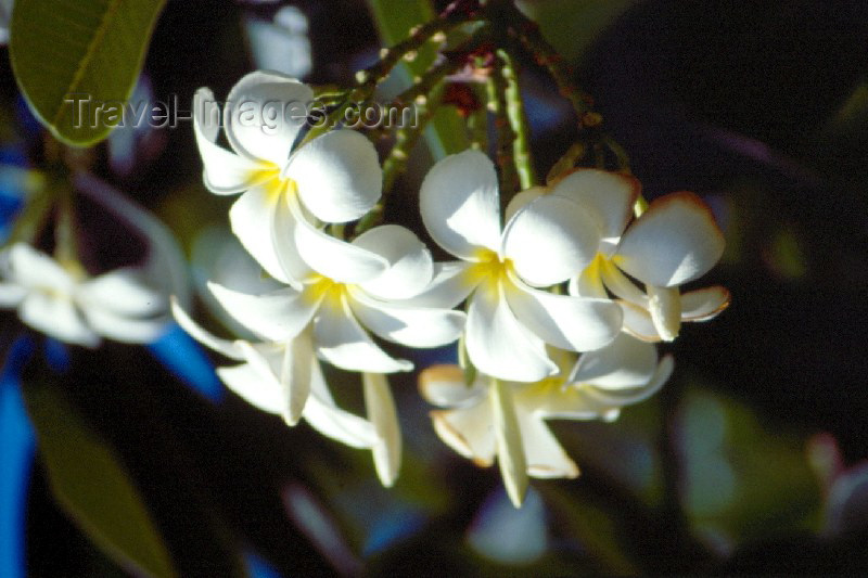 kenya1: Kenya - Mombassa: Reef hotel - flowers - Plumeria - common name: Frangipani - photo by F.Rigaud - (c) Travel-Images.com - Stock Photography agency - Image Bank