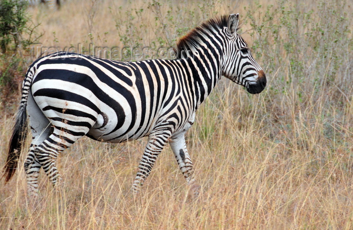 kenya143: Nairobi NP, Kenya: Burchell's zebra - Equus quagga burchellii - photo by M.Torres - (c) Travel-Images.com - Stock Photography agency - Image Bank