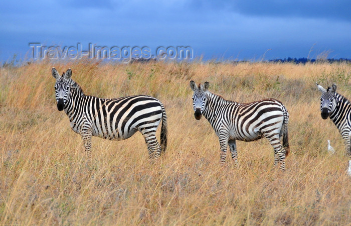 kenya144: Nairobi NP, Kenya: three zebras posing - Burchell's zebra - Equus quagga burchellii - photo by M.Torres - (c) Travel-Images.com - Stock Photography agency - Image Bank