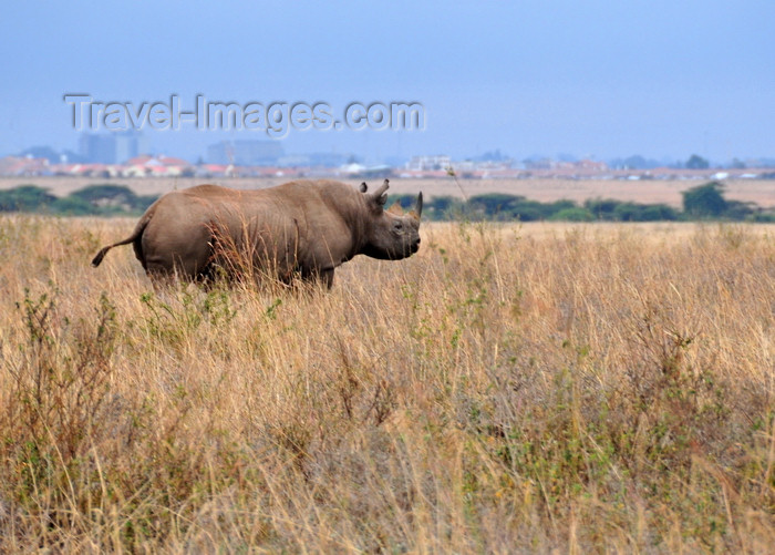 kenya145: Nairobi NP, Kenya: Black Rhinoceros - Diceros bicornis - photo by M.Torres - (c) Travel-Images.com - Stock Photography agency - Image Bank