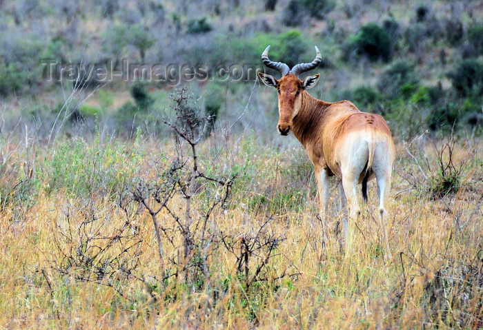 kenya146: Nairobi NP, Kenya: Coke's Hartebeest or Kongoni, Alcelaphus buselaphus cokii - photo by M.Torres - (c) Travel-Images.com - Stock Photography agency - Image Bank