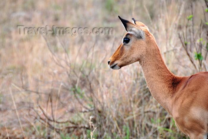 kenya147: Nairobi NP, Kenya: impala - Aepyceros melampus - photo by M.Torres - (c) Travel-Images.com - Stock Photography agency - Image Bank