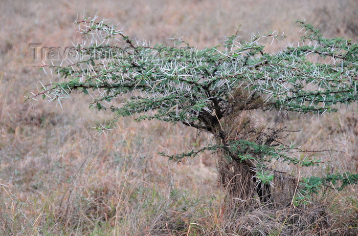 kenya148: Nairobi NP, Kenya: thorn tree in the grass plain - the Athi-Kapiti ecosystem - photo by M.Torres - (c) Travel-Images.com - Stock Photography agency - Image Bank