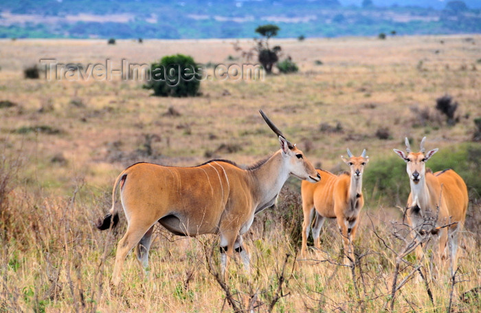 kenya149: Nairobi NP, Kenya: common eland - Taurotragus oryx - ram with two females - photo by M.Torres - (c) Travel-Images.com - Stock Photography agency - Image Bank