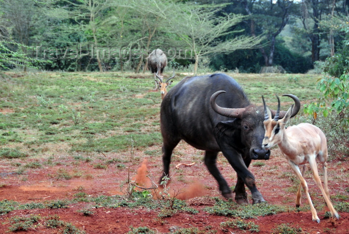 kenya152: Nairobi Safari Walk, Langata, Kenya: African Buffalo or Cape Buffalo - Syncerus caffer chases Thomson's Gazelle - photo by M.Torres - (c) Travel-Images.com - Stock Photography agency - Image Bank