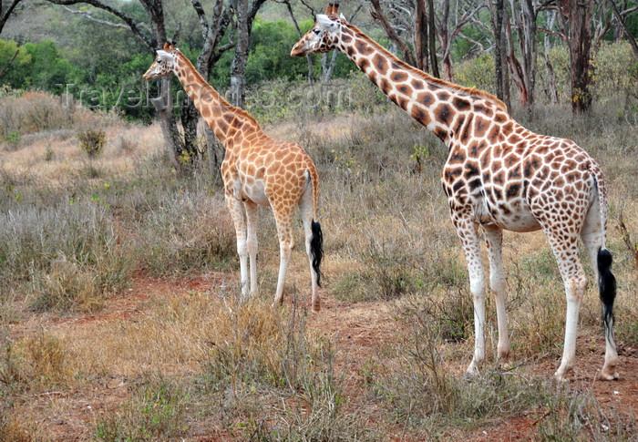 kenya157: Langata, Nairobi, Kenya: mother and  juvenile - Rothschild Giraffe - Langata Giraffe Centre - photo by M.Torres - (c) Travel-Images.com - Stock Photography agency - Image Bank