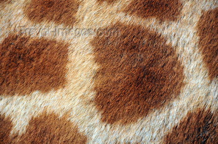 kenya158: Langata, Nairobi, Kenya: fur detail - Rothschild Giraffe - Langata Giraffe Centre - photo by M.Torres - (c) Travel-Images.com - Stock Photography agency - Image Bank