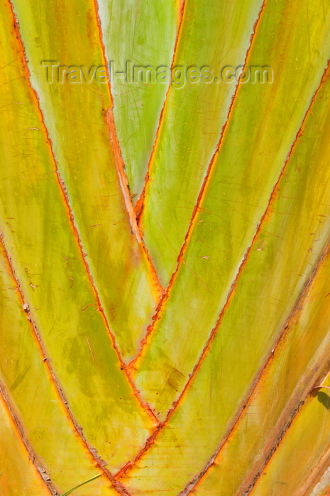 kenya161: Langata, Nairobi, Kenya: traveller's palm at Mamba Village - photo by M.Torres - (c) Travel-Images.com - Stock Photography agency - Image Bank
