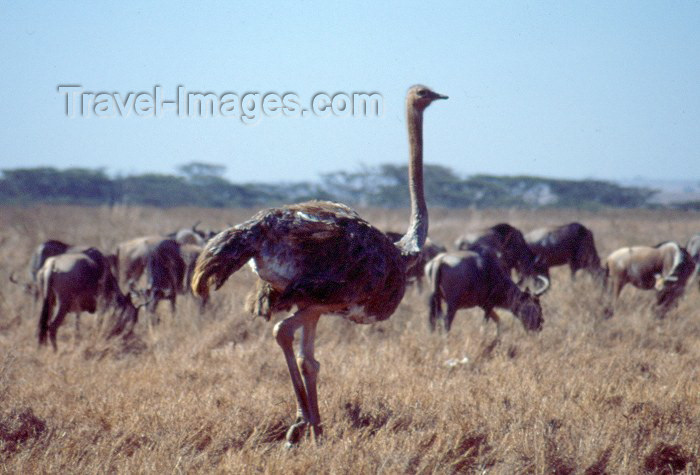 kenya35: Kenya - Nairobi National Park: ostrich (photo by F.Rigaud) - (c) Travel-Images.com - Stock Photography agency - Image Bank