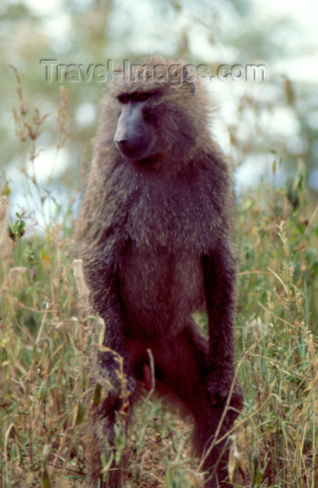 kenya37: Kenya - Lake Nakuro National Park: olive baboon - genus Papio - papio cynocephalus Dutch name: olijfbaviaan English name: olive-baboon (photo by F.Rigaud) - (c) Travel-Images.com - Stock Photography agency - Image Bank