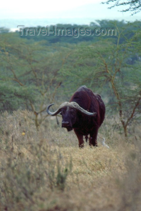 kenya44: Kenya - Lake Nakuro National Park: buffalo (photo by F.Rigaud) - (c) Travel-Images.com - Stock Photography agency - Image Bank