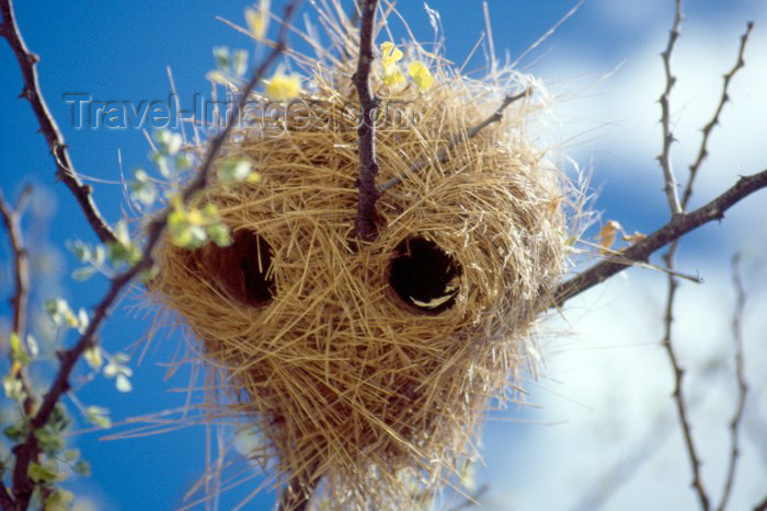 kenya45: Kenya - Olorgesailie: nest - weaver birds (photo by F.Rigaud) - (c) Travel-Images.com - Stock Photography agency - Image Bank