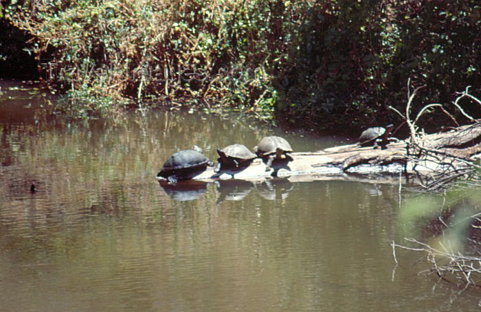kenya46: Kenya - Nairobi National Park: turtles in the sun (photo by F.Rigaud) - (c) Travel-Images.com - Stock Photography agency - Image Bank