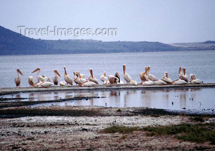 kenya53: Kenya - Lake Nakuru National Park: pelicans on Lake Nakuru,s one of the Rift Valley's soda lakes - birds - fauna - photo by F.Rigaud - (c) Travel-Images.com - Stock Photography agency - Image Bank