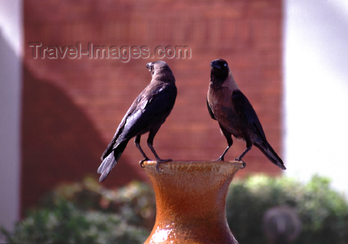 kenya67: East Africa - Kenya - Malindi / Melinde, Coast province: ravens on the waterfront - photo by F.Rigaud - (c) Travel-Images.com - Stock Photography agency - Image Bank