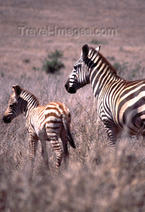 kenya74: Kenya - Lake Nakuru National Park - Rift Valley Province: zebra with calf - African fauna - safari - wildlife (photo by F.Rigaud) - (c) Travel-Images.com - Stock Photography agency - Image Bank