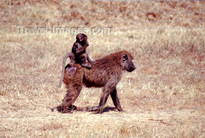 kenya75: Kenya - Lake Nakuru National Park - Rift Valley province: olive baboon female with baby - papio cynocephalus (photo by F.Rigaud) - (c) Travel-Images.com - Stock Photography agency - Image Bank
