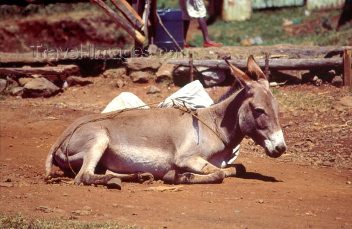 kenya76: Africa - Kenya - Kericho - Rift Valley Province: donkey resting (photo by F.Rigaud) - (c) Travel-Images.com - Stock Photography agency - Image Bank
