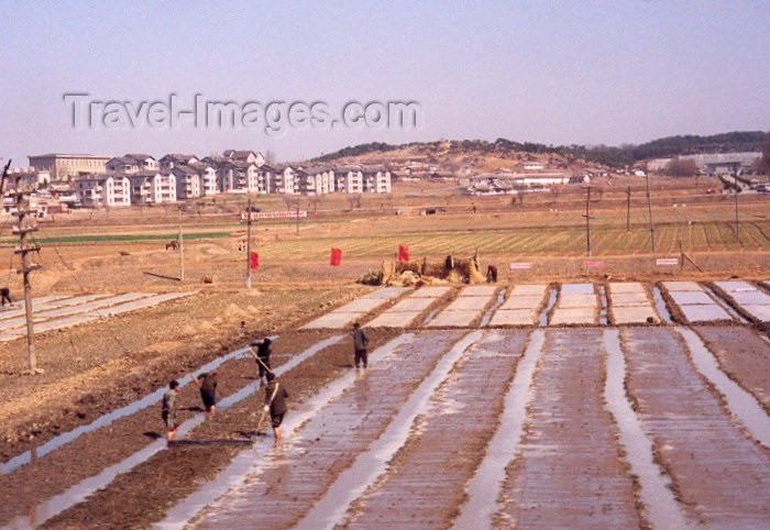 korean91: North Korea / DPRK - Rice padies under the red flags (photo by Miguel Torres) - (c) Travel-Images.com - Stock Photography agency - Image Bank