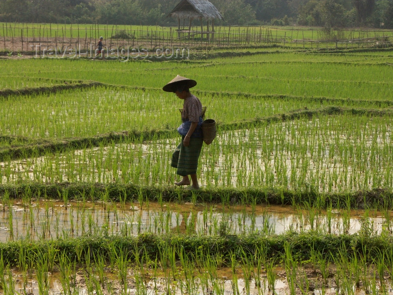 laos43: Laos - Muang Noi: Laotian peasant in the rice paddies - photo by P.Artus - (c) Travel-Images.com - Stock Photography agency - Image Bank