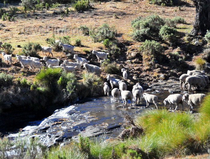 lesotho103: Tiping, Lesotho: sheep cross a river near the A3 road - photo by M.Torres - (c) Travel-Images.com - Stock Photography agency - Image Bank