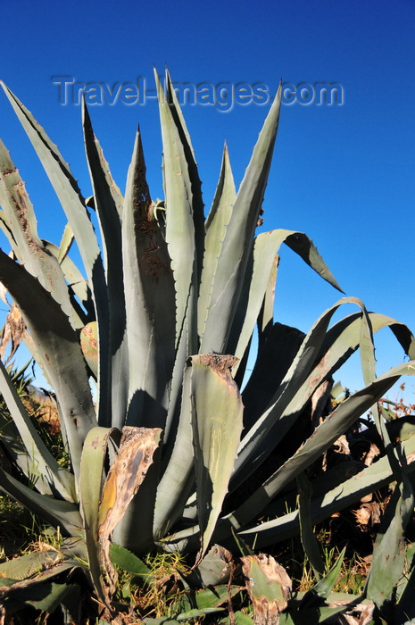 lesotho93: Roma, Lesotho: large aloe vera - photo by M.Torres - (c) Travel-Images.com - Stock Photography agency - Image Bank