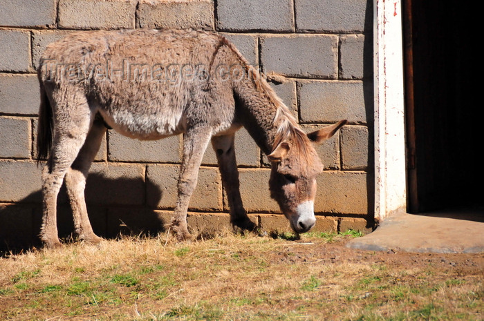 lesotho99: Ha Ramohope, Lesotho: a donkey at his master's door - photo by M.Torres - (c) Travel-Images.com - Stock Photography agency - Image Bank