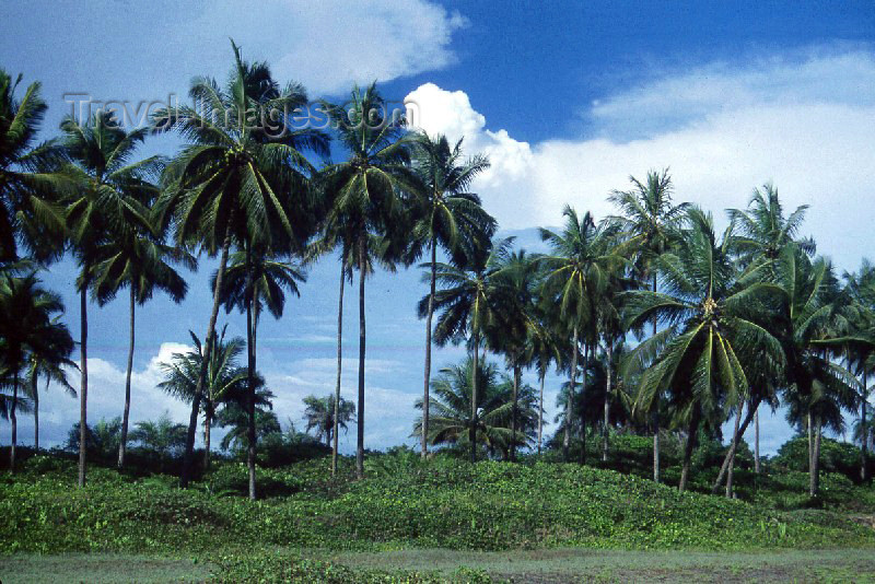 liberia15: Grand Bassa County, Liberia, West Africa: line of coconut trees - photo by M.Sturges - (c) Travel-Images.com - Stock Photography agency - Image Bank