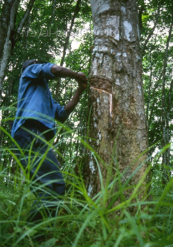 liberia8: Grand Bassa County, Liberia, West Africa: rubber trees - collecting latex at the old LAC plantation - rubber industry - photo by M.Sturges - (c) Travel-Images.com - Stock Photography agency - Image Bank