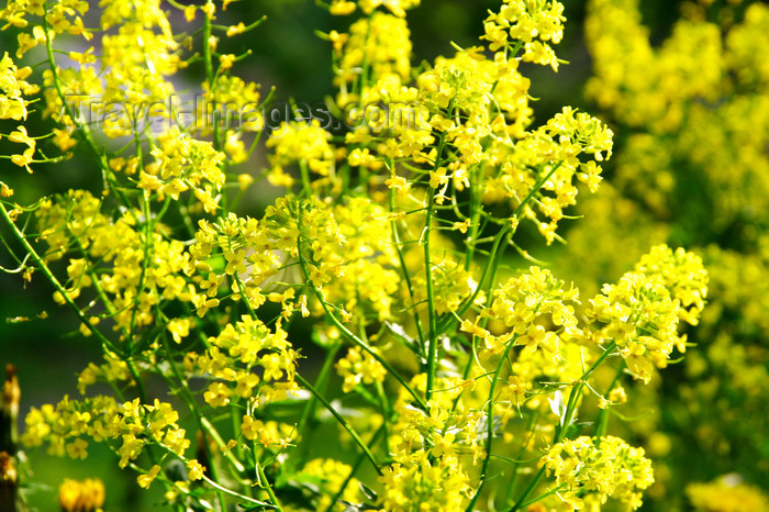 lithuania151: Lithuania - Vilnius: Lithuanian flowers - photo by Sandia - (c) Travel-Images.com - Stock Photography agency - Image Bank