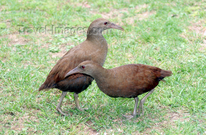 lord-howe6: Lord Howe island: Lord Howe Woodhens M/F, Gallirallus sylvestris - photo by R.Eime - (c) Travel-Images.com - Stock Photography agency - Image Bank