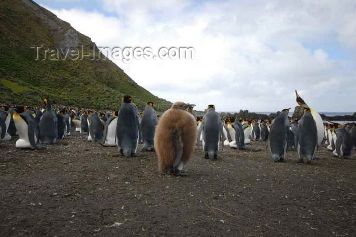 macquarie2: Macquarie island - UNESCO World Heritage Site: penguin rookery - Latitude of 54°30' South, longitude 158°57' East - photo by Eric Philips / Icetrek - (c) Travel-Images.com - Stock Photography agency - Image Bank
