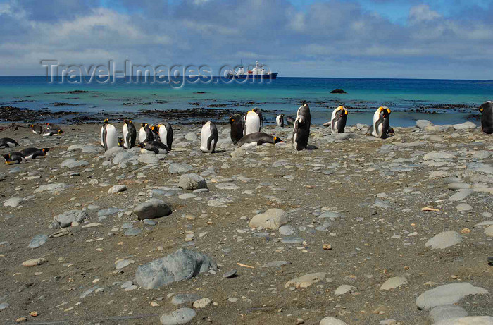 macquarie3: Macquarie island - UNESCO World Heritage Site: King Penguins at Sandy Bay, Sarsen anchored behind - Southern Ocean - photo by Eric Philips / Icetrek - (c) Travel-Images.com - Stock Photography agency - Image Bank