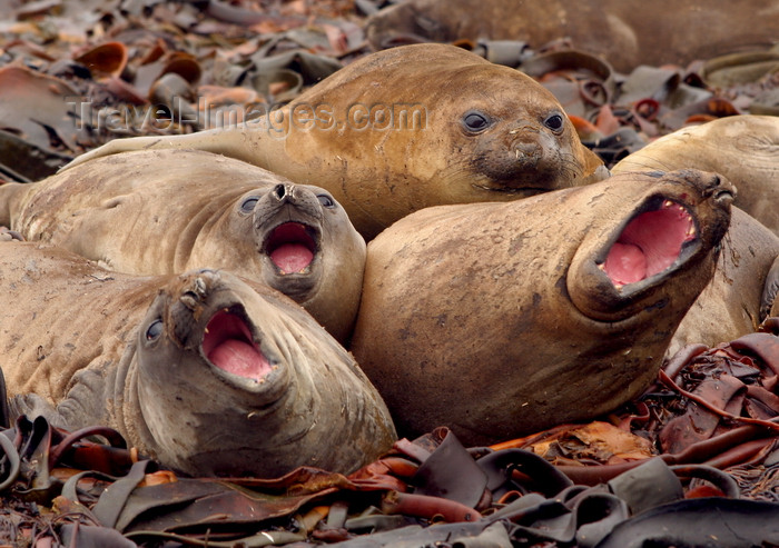 macquarie4: Macquarie Island: blubbershop quartet - a chorus of young elephant seals - Mirounga leonina - UNESCO World Heritage Site - photo by R.Eime - (c) Travel-Images.com - Stock Photography agency - Image Bank